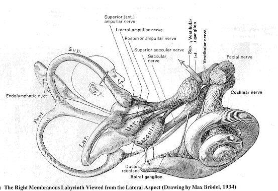 מערכת הקשתות הוסטיבולרית הנמצאת בכל אחת מהאוזניים